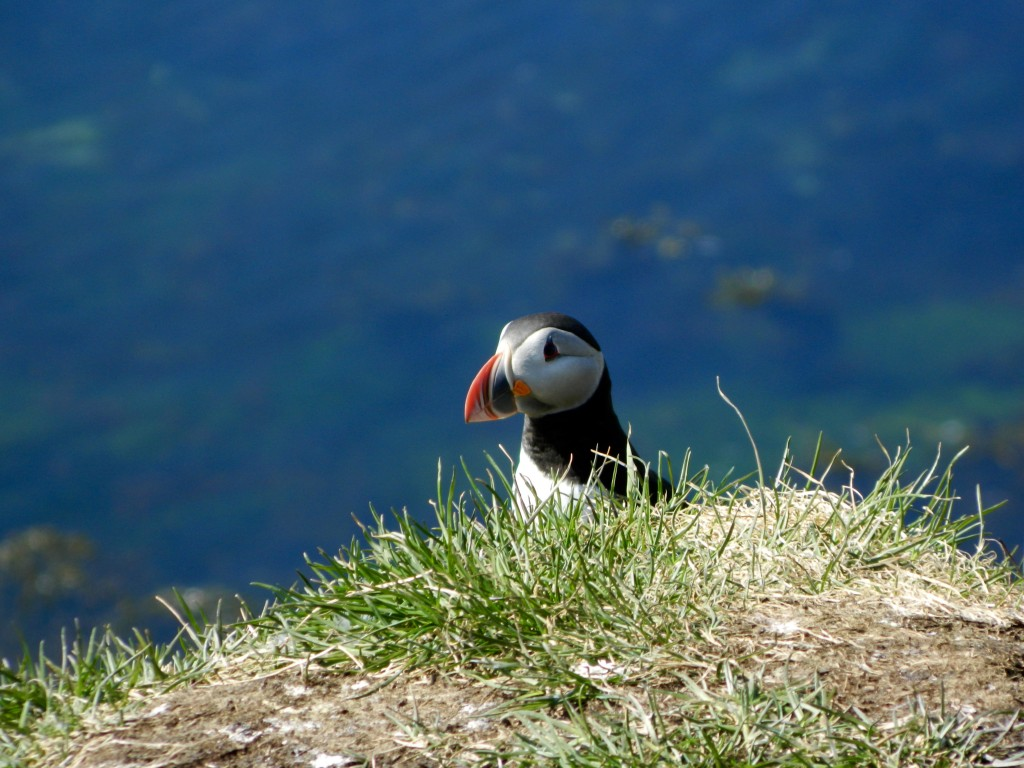 A puffin poking his head up over the grass